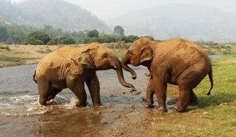 Baby elephant Yindee and Navann are showing their bull instinct