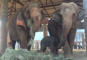 Baby elephant Dok Rak tasting his first mothers milk