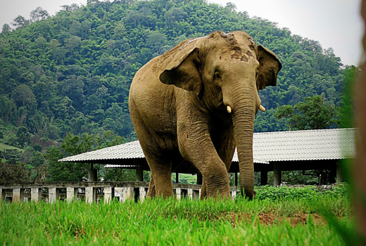 Elephant Of The Week: Happy 7th Birth Day Chang Yim