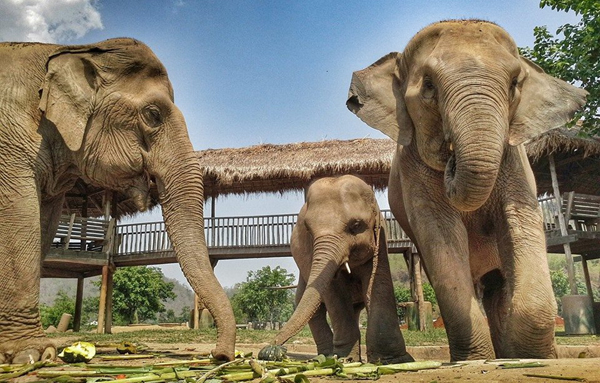 Elephant Of The Week : Saree