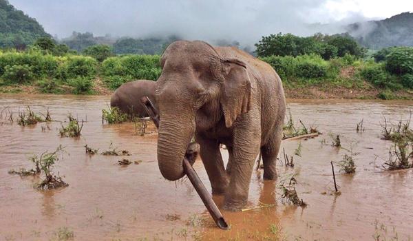 Elephant Of The Week : Tubtim