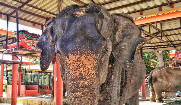 The Old Elephant Bai Cha And Her Freedom Of Life Is Starting At ENP