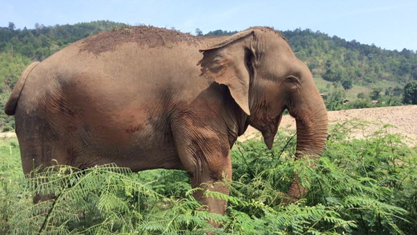 Elephant Of The Week : Lucky, The Blind Elephant