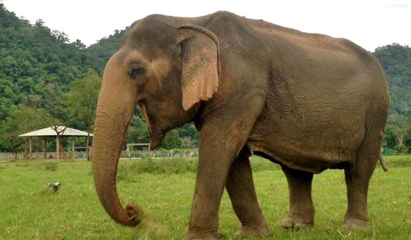 Elephant Of The Week : Mae Thai