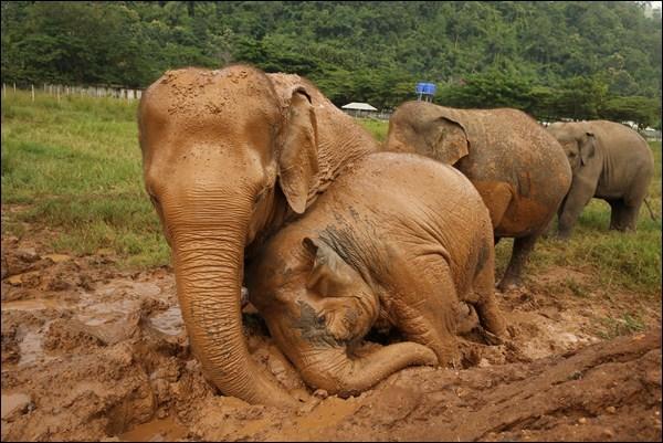 A mud bath for elephants is pure joy