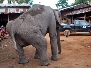 Medo arrives at Elephant Nature Park