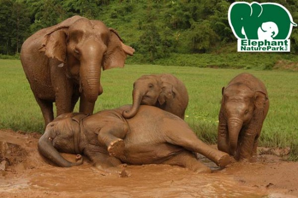 Keeps busy spending her time amongst many baby elephant in the mud