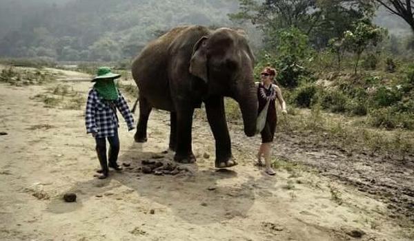 Female ♀ Asian elephant (<em>Elephas maximus</em>) Dao Ruang at Elephant Nature Park (Sangduen Chailert)