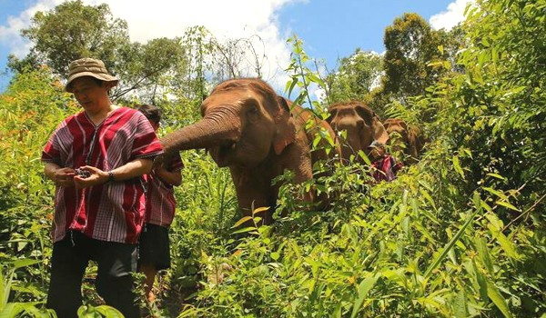 Karen tribes man walks with elephants near his village in Mae Wang