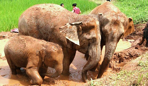 Our elephants at Karen Elephant Experience enjoy the day of freedom with mud bath