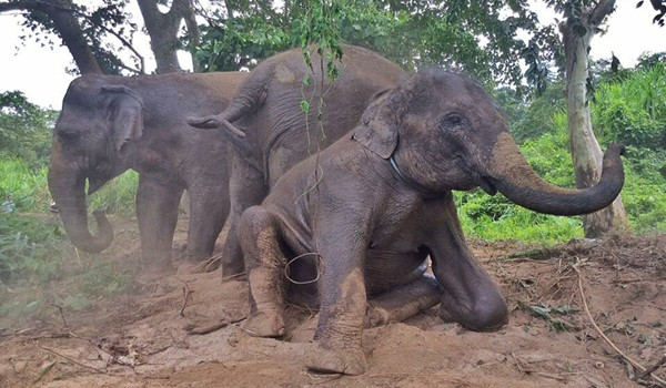 Elephants having mud bath to cool down and protect their body from insectd