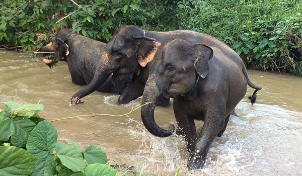 Elephants having a precious moment in the river at Hope for Elephants program