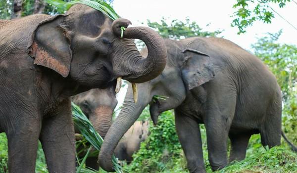 Elephant family at Care for Elephant program enjoy eating grass together