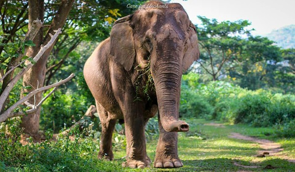 At Care for Elephant program, our gentle lady elephant have a freedom to walk into the forest