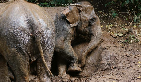 Observing elephants at Care for Elephant program take a mud bath is unforgettable moment