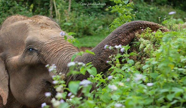 Elephant enjoy having fresh leaves to eat while they are walking at Care for Elephant program