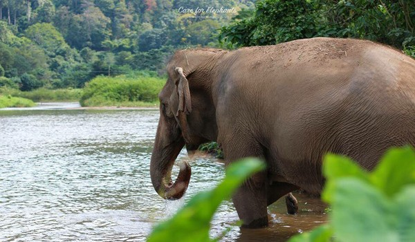 Elephant drinking the water from the river at Care for Elephant program