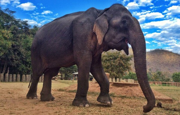 Welcome our latest rescued elephant, Tong Kham to our family at Elephant Nature Park