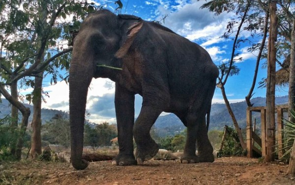 Tong Kham enjoy to walk with freedom at Elephant Nature Park