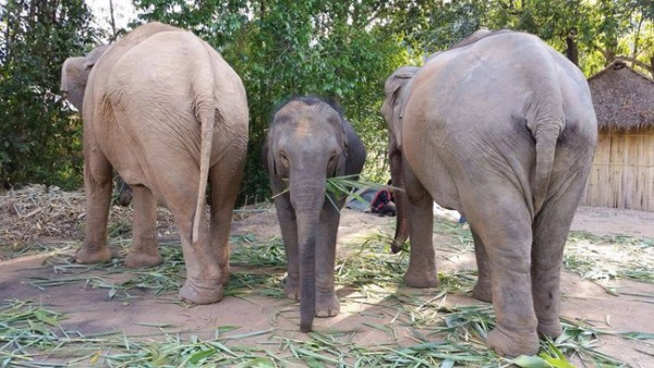 MeBai is protected from both mom and nanny while she is feeding, see the warm love of elephant family at Journey to Freedom program