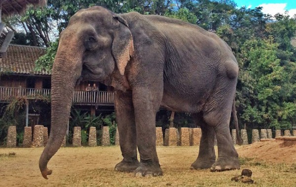 Tong Kham is 67 years old elephant, we rescued her from the trekking camp, now she has a new life at our sanctuary