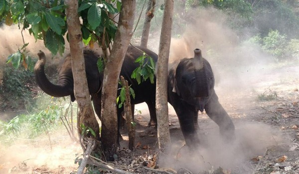 Elephants enjoy dust bath after refreshed in the river.