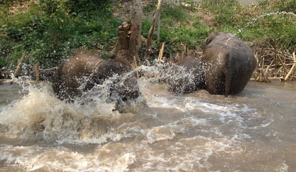 Elephants refreshing in the river at Hope for Elephant program.