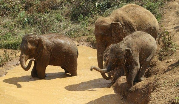 It's time to enjoy and refresh their body with mud bath at Karen Elephant Experience.