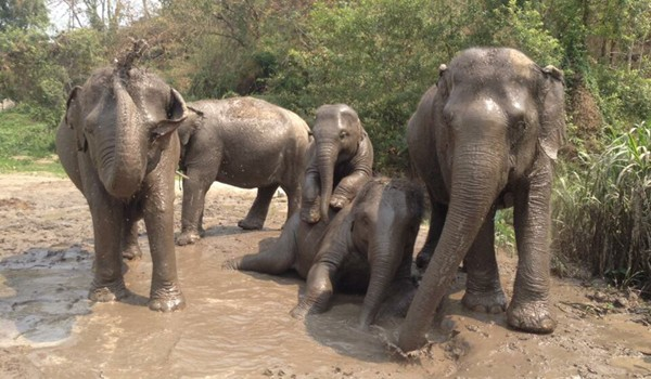 Elephant family have a great day at Hope for Elephant program by Elephant Nature Park.
