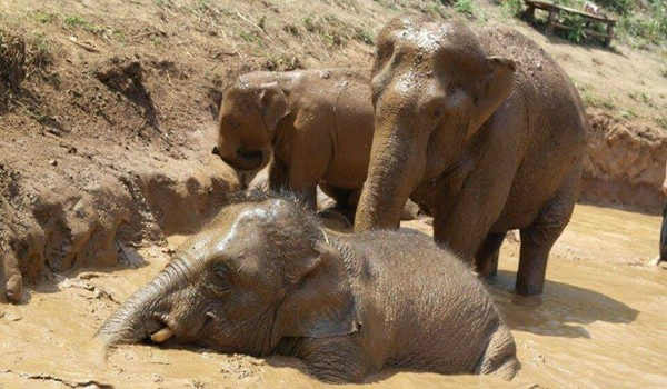 Elephants family having fun in the mud pit at Karen Elephant Experience.