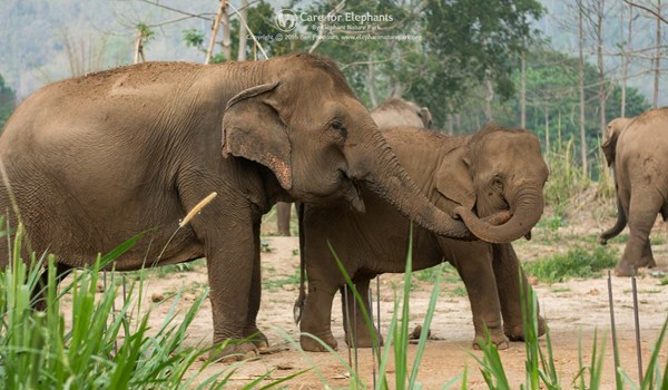 Pookie and khundej love to play together at Elephant Nature Park.