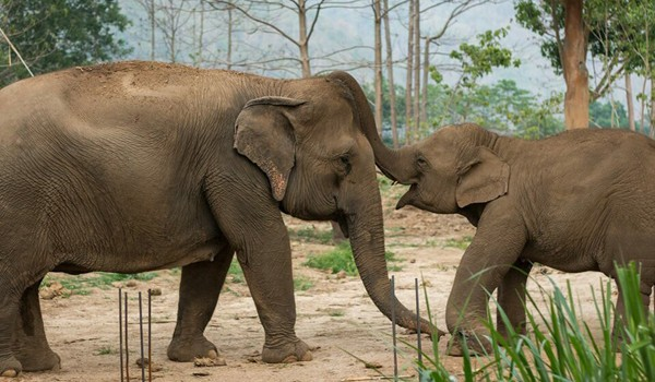 Khundej is very happy to play with Pookie at Elephant Nature Park.