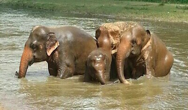Elephants have river bath to cool down their body.