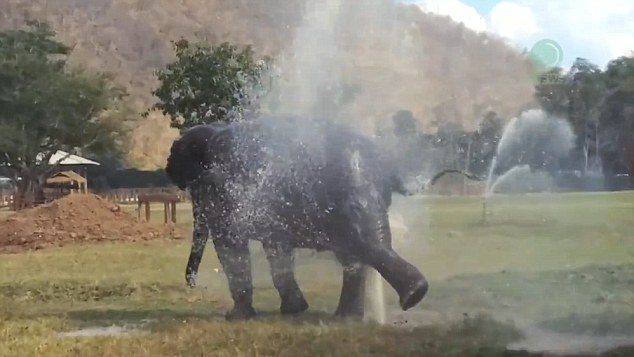 Faa Sai Having A Great Time With Her Fountain At Elephant Nature Park