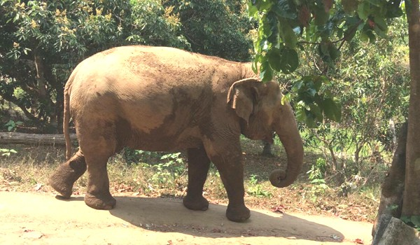 Jaemsai observing the road to her natural terrain at Pamper A Pachyderm program.