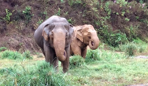 Jaemsai and her best friend, Mae Banyen having some fresh grass at Pamper A Pachyderm program.