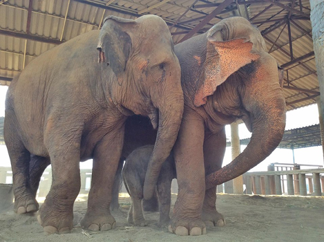 Mae Sri Nuan is the number one nanny of new baby elephant.
