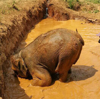 Elephant at Karen Elephant Experience have a great time in the mud pit.