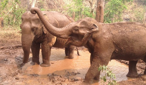 Elephants refreshing them self in the mud pit