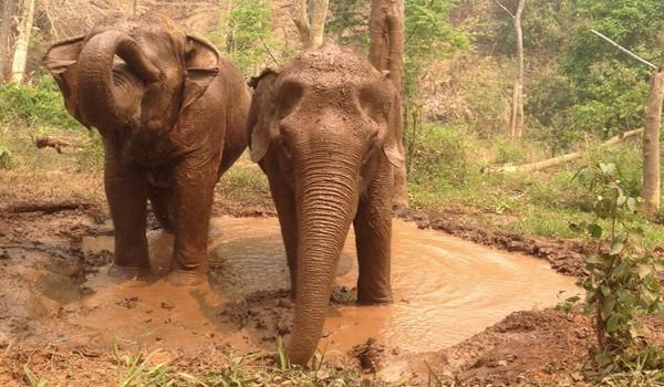 Elephants at Sunshine for Elephants program have mud bath after the jungle walk