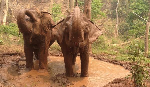Elephants love to have mud bath