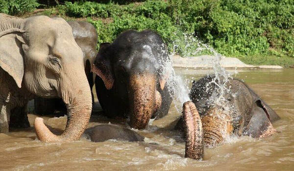 Elephants are happy to play together in the river.