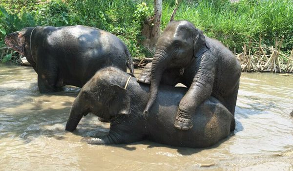 Baby elephant playing with nanny in the river