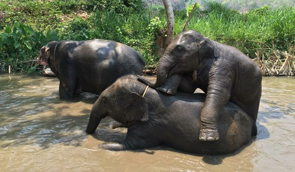 Elephant family have a great fun in the river