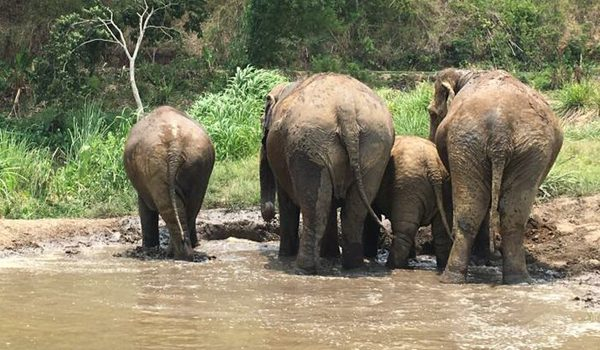 Time to refresh with mud bath for elephants