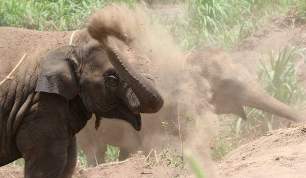 Elephants have dust bath to protect the skin