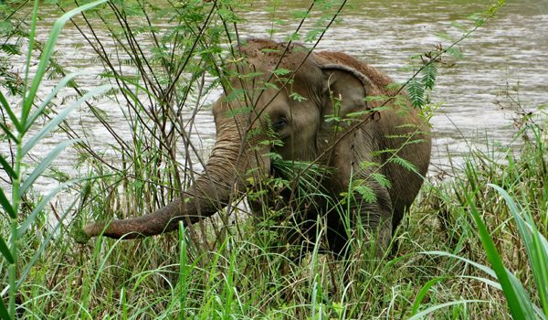 Kham Sai loves to stay at the river bank grazing the green grass