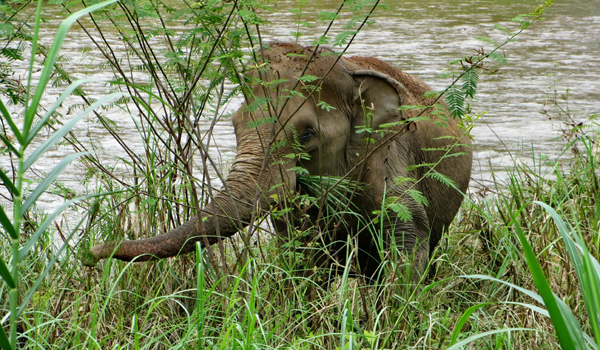 Elephant Of The Week : Mae Kham Sai Rescued To ENP On June 2005