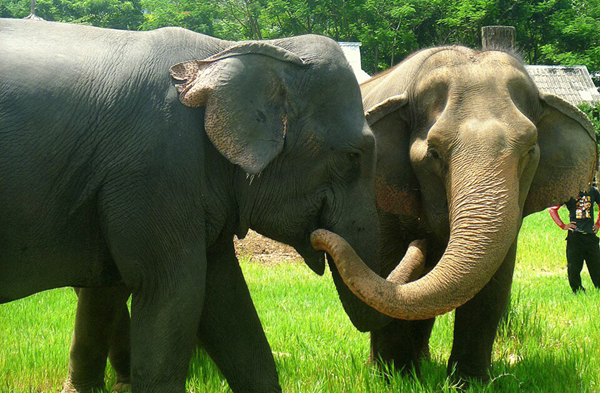 Elephant Of The Week : Sao Yai The Emotional Lady Elephant