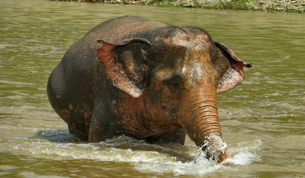 Elephant Of The Week : Mae Boon Ma Our Friendly Elephant